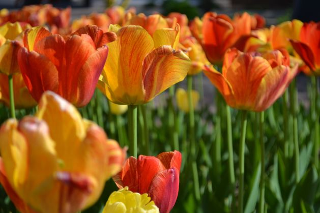 Tulips in Holland, Michigan - Things to do in Michigan in the spring