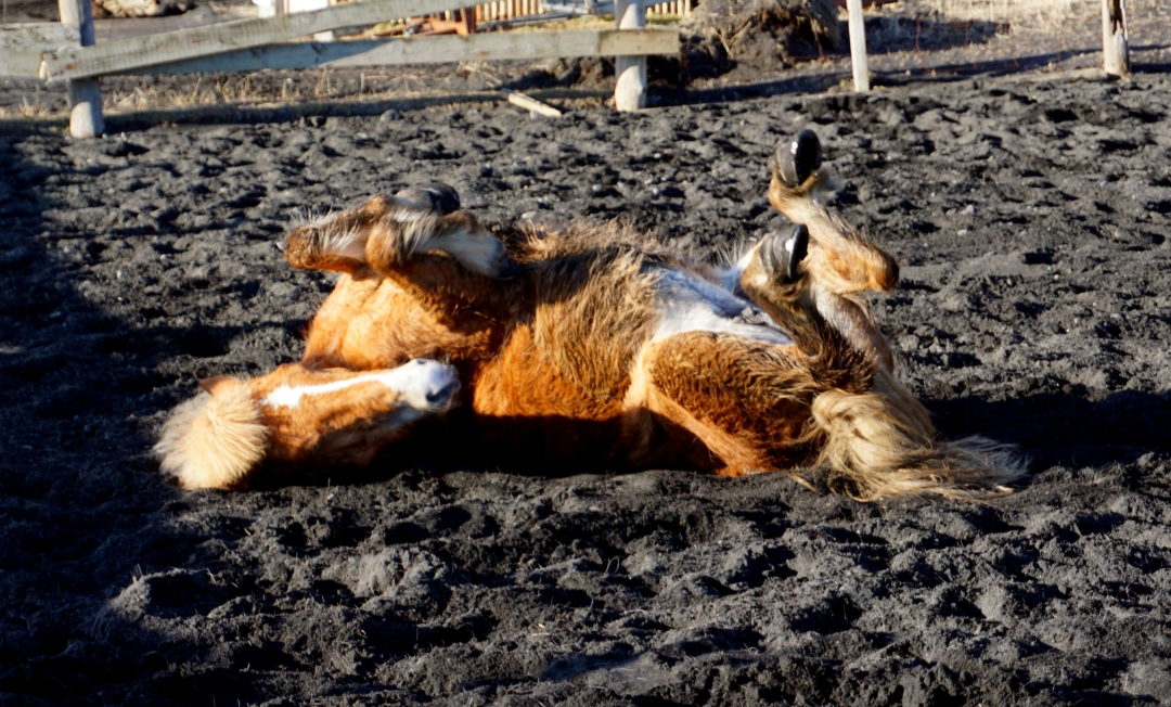 Icelandic horse rolling on her back in black sand