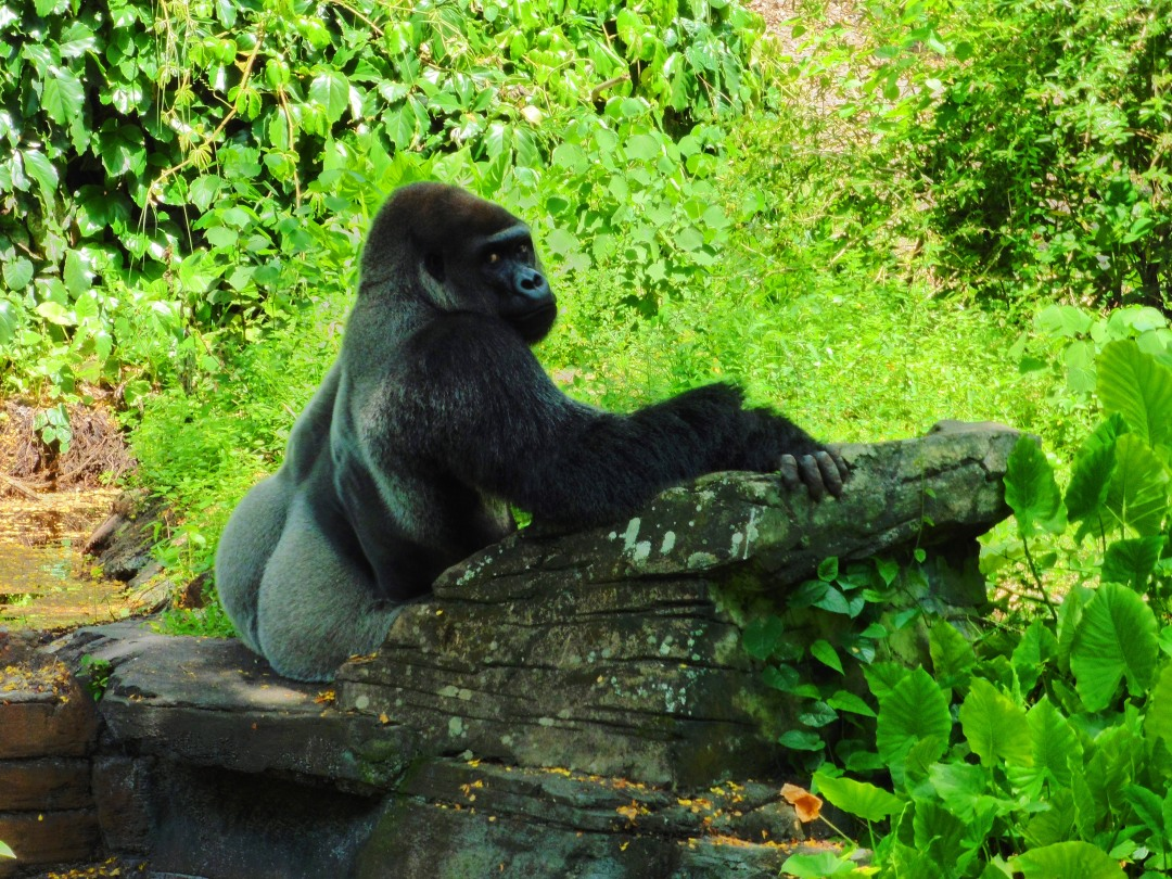 Gorilla at Disney's Animal Kingdom in Orlando, Florida